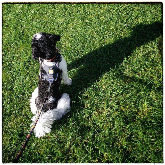Knigin der Herzen derpudelvonpanem harlekinpudel partipoodle poodlesofinstagram dogsofinstagram welthundetag worlddogday