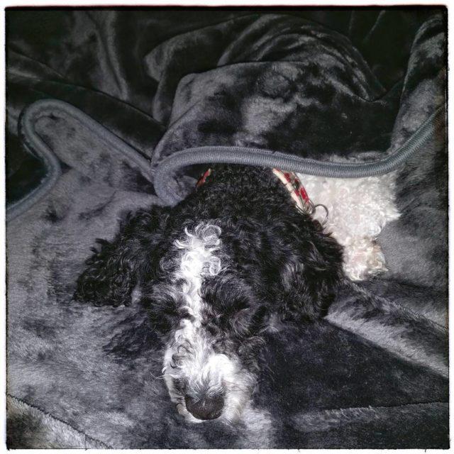 Platter Pudel ist platt  derpudelvonpanem harlekinpudel partipoodle poodlesofinstagram dogsofinstagram