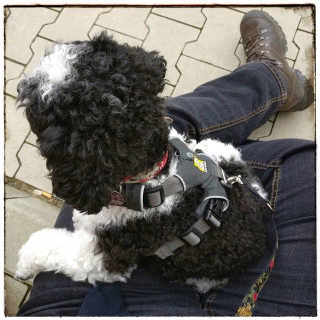Nebenjob Pudellounge derpudelvonpanem harlekinpudel partipoodle poodlesofinstagram dogsofinstagram