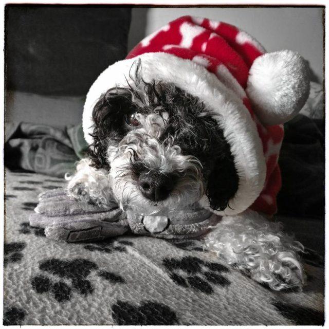 Weihnachtsplsch derpudelvonpanem harlekinpudel partipoodle poodlesofinstagram dogsofinstagram